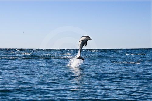 Common Dolphin in the Santa Barbara Channel