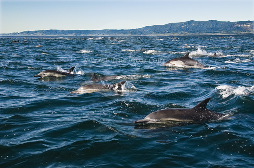 Large school of Dolphins off the coast of California.