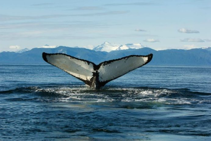 Spying on whales Television show on ABC uses our Whale Fluke for advert online.